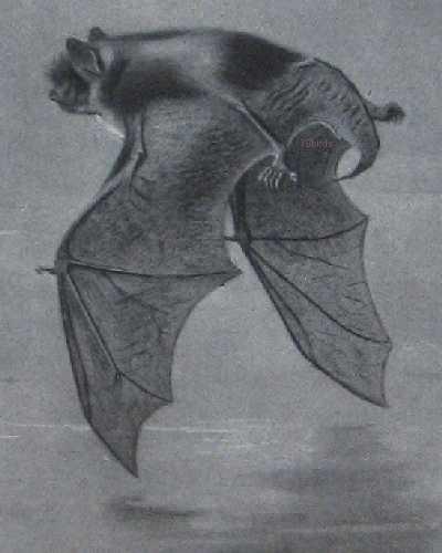 Daubenton's bat, (Myotis daubentonii)