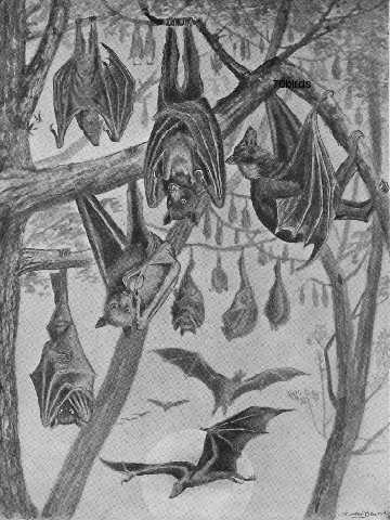 Colony of Flying Foxes