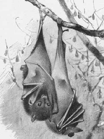 The Indian flying fox (Pteropus medius)