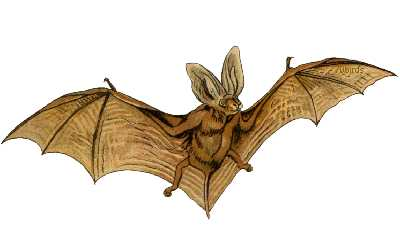 Northern long-eared bats (northern myotis)