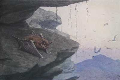 Mexican free-tailed Bat, Tadarida brasiliensis