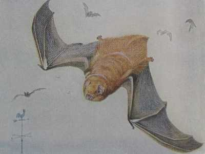 Eastern Red Bat, Lasiurus borealis