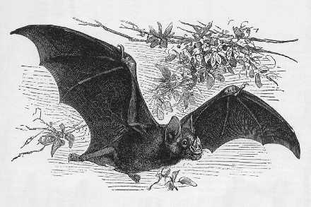 Vampire Bat, Desmodus genus