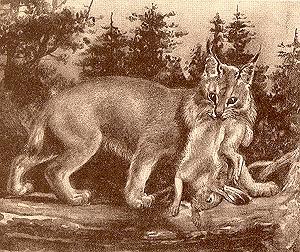 American Lynx, Lynx canadensis