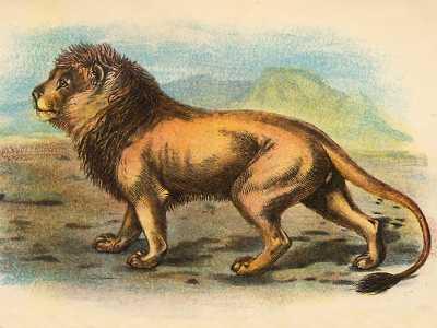 Lion, Panthera leo persica