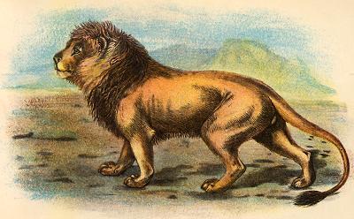 Lion Panthera leo persica