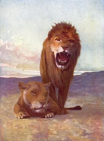 Lions  Panthera leo persica