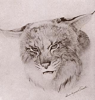 Canada Lynx, Lynx canadensis