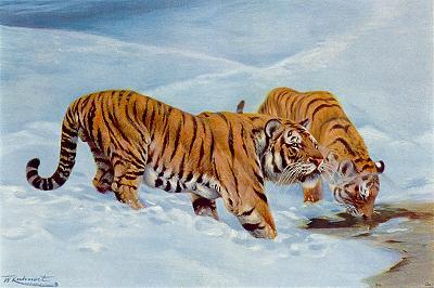 Manchurian Tigers, Siberian Tigers, Panthera tigris altaicus