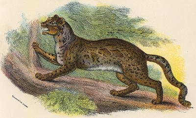 Marbled Cat, Pardofelis marmorata