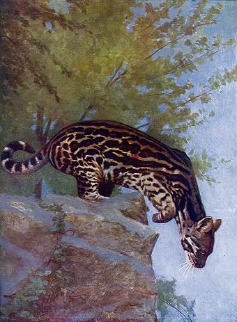 Ocelot, Leopardus pardalis, North and South America