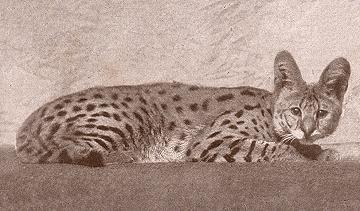 Barbary Serval, Leptailurus serval constantina