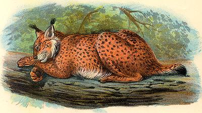 Spanish Lynx, Felis pardina Spain