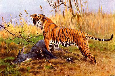 Tiger, Panthera tigris, Temperate and Tropical Asia