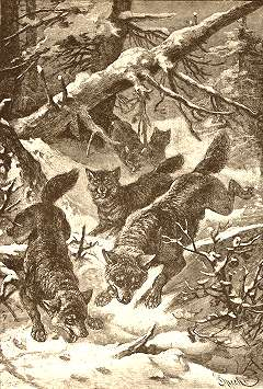 A pack of English wolves hunting in a forest