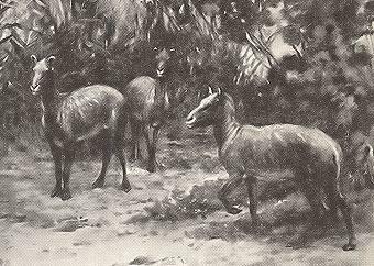 Dawn Horse, Eohippus, Hyracotherium