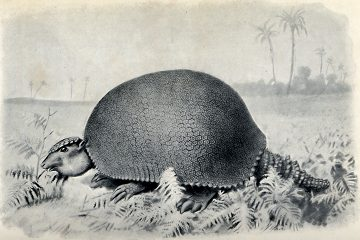 Extinct Glyptodon