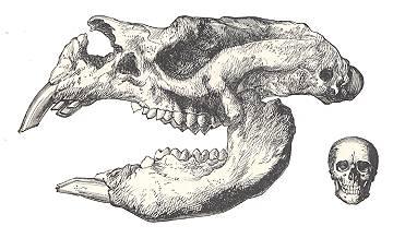 Giant Australian Marsupial Diprotodon