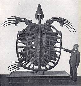 Archelon Skeleton