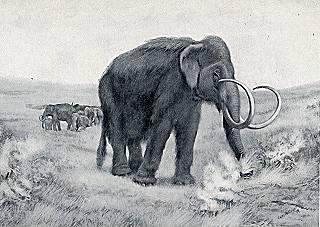 Hairy mammoth bull and herd.