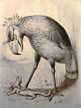 Phororhacos longissimus