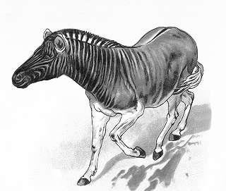 Quagga, Equus burchelli quagga
