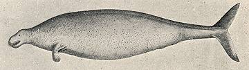 George Steller's drawing of the Aleutian Islands Sea Cow