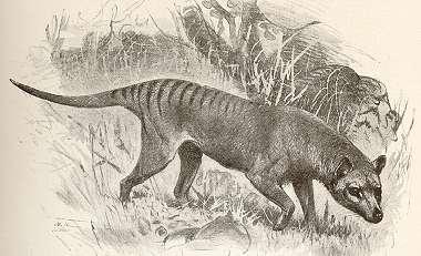 Thylacine, Thylacinus cynocephalus