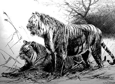 Extinct Turanian Tiger Mates