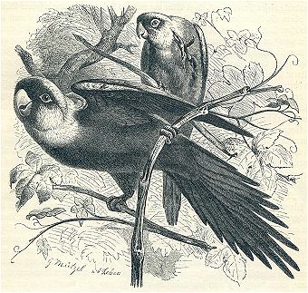 Woodcut illustration of the Carolina parakeet
