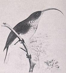 Kipi, Hemignathus lichtensteini