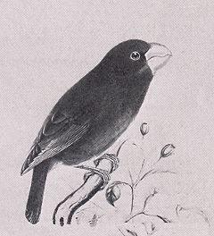 Kona Grosbeak, Chloridops kona