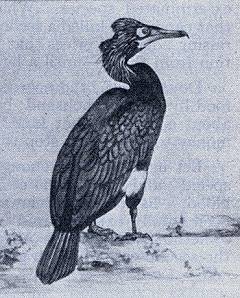 Pallas' Cormorant of the Aleutian Islands