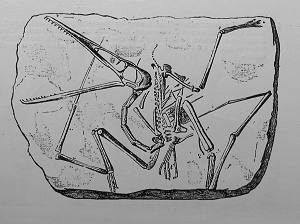 Pterodactylus antiquus, The first group of Pterodactyls found.